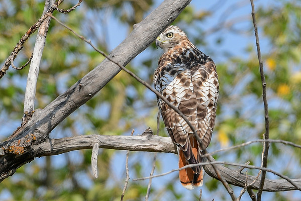 8-31-16 Red-tailed Hawk FCPP
