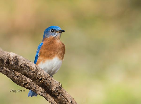 Eastern Bluebird_DWL7601.jpg