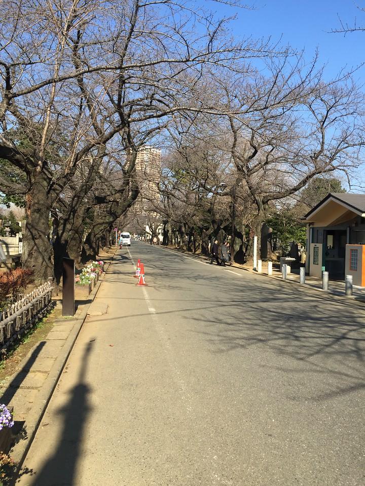 Yanaka Cemetery Cherry Blossom Lane