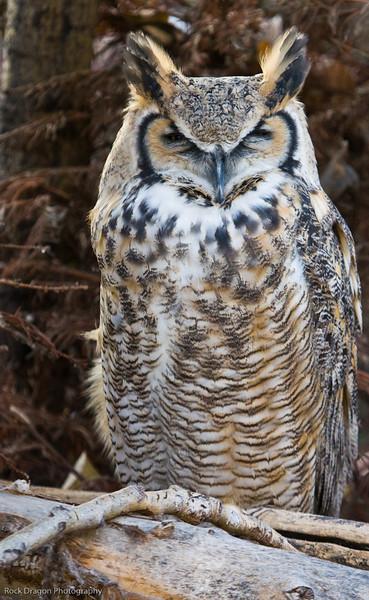 Great Horned Owl, Calgary Zoo, Nov. 30