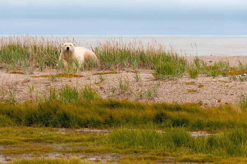 Polar bear near Hudson Bay in Manitoba, Canada