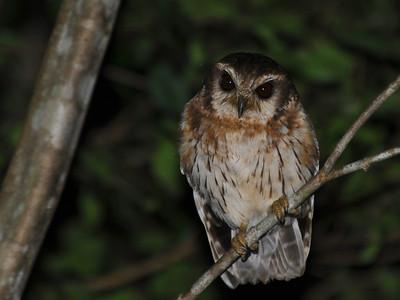 Cuban Screech Owl (Gymnoglaux lawrencii) Cienega de Zapata, Cuba, November 2013