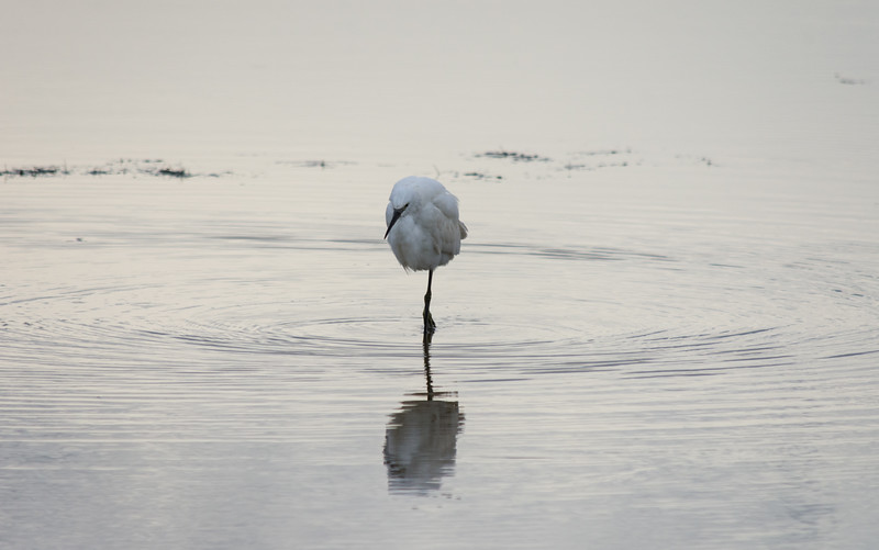 A small white Little Egret standing in the water looking for food.