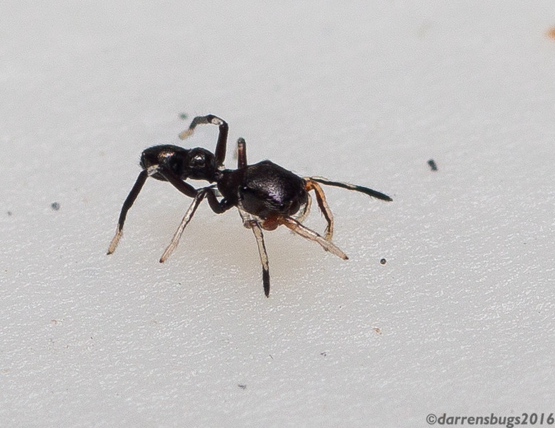 Ant-mimicking jumping spider, family Salticidae, from Belize.