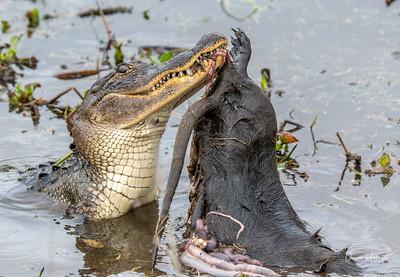 Gator/Nutria thrashing