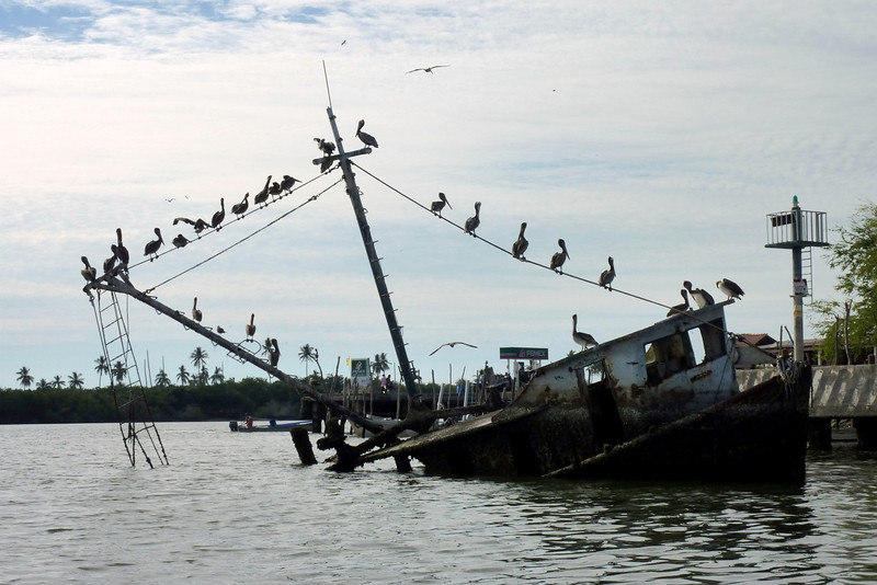 Pelicanos on a partially sunken ship