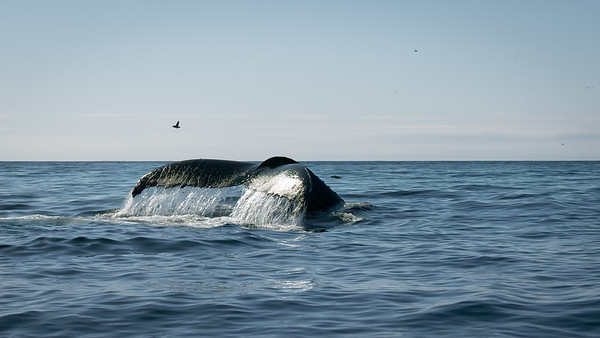 Whales in the Atlantic at Newfoundland, Canada