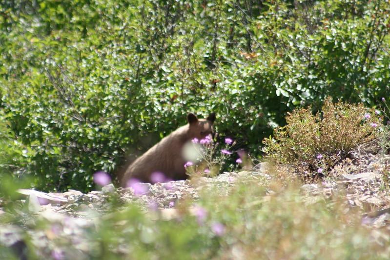 20110828 - 047 - GNP - Bear Cub Along Road By Many Glacier Hotel.JPG