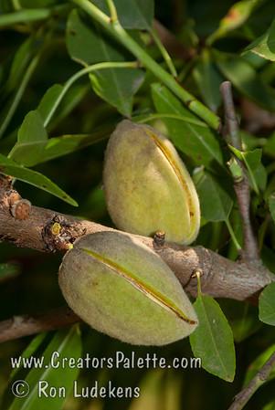 All-in-One Almond (Prunus dulcis)