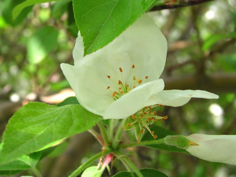 white bloom51.JPG