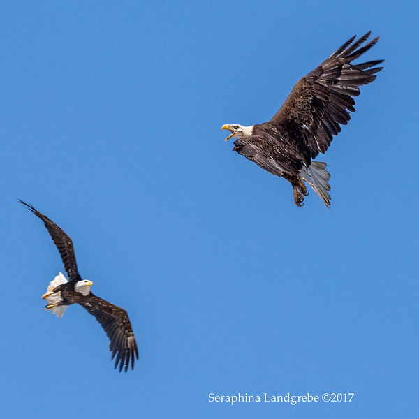 _DSC3590Bald Eagle pair .jpg