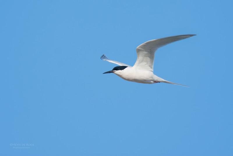 Roseate Tern, Lady Elliot Island, QLD, Dec 2015.jpg