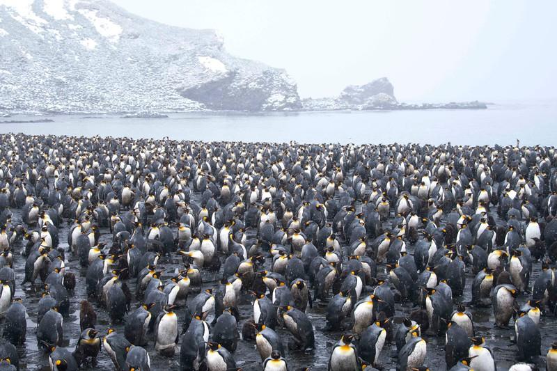 Penguin_King_Salisbury Plain_South Georgia-1.jpg