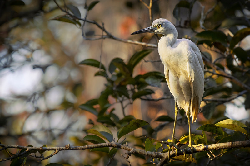 ReneFisher_LittleBlueHeron.jpg