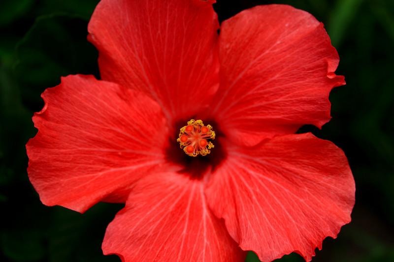 Hibiscus 6-20-15 043.jpg