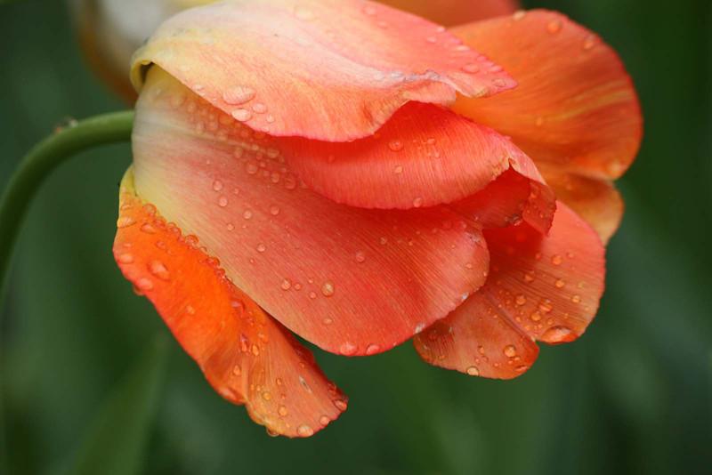 Orange tulip with raindrops