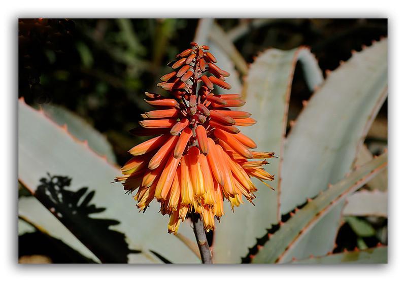 Succulent-Flower.jpg