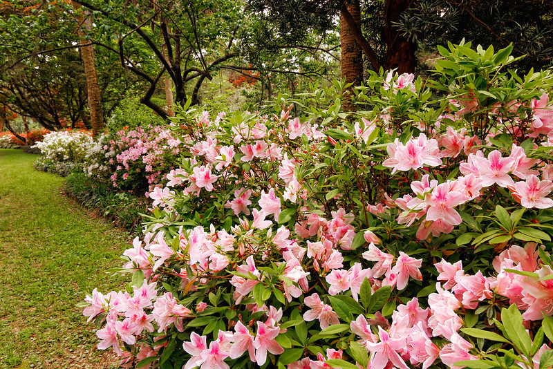 'George Lindley Taber','Fielder's White', and 'Christmas Cheer' (Azalea southern indica) in spring bloom along a garden path