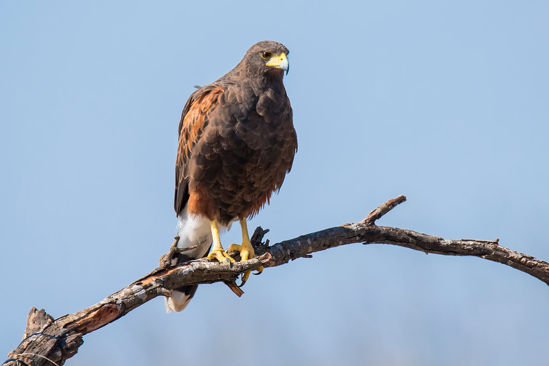 Harris Hawk - Laguna Seca Ranch-Edinburg, TX