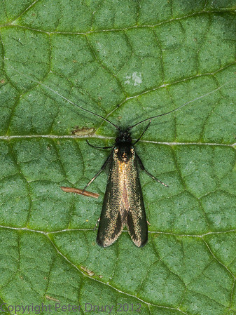 Green Longhorn (Adela reaumurella)