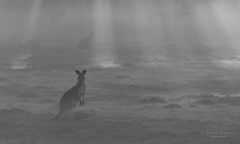 Eastern Grey Kangaroo, Coombabah Lakelands, QLD, Sept 2011-2.jpg