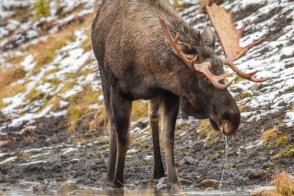 10-16-14 Bull Moose At Watering Hole