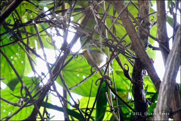 Golden-Crowned Babbler