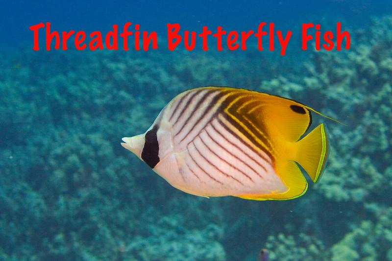 Threadfin Butterfly.jpg