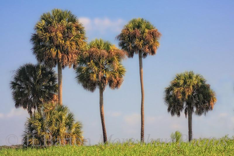 Myakka River Palms A stand of trees along the Myakka River in Florida.