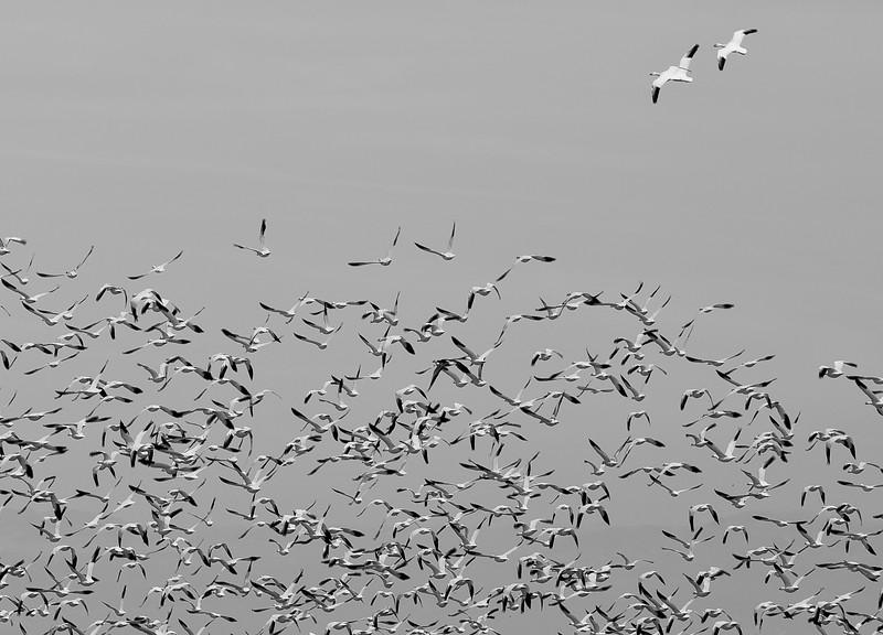 Snow Geese-7.jpg