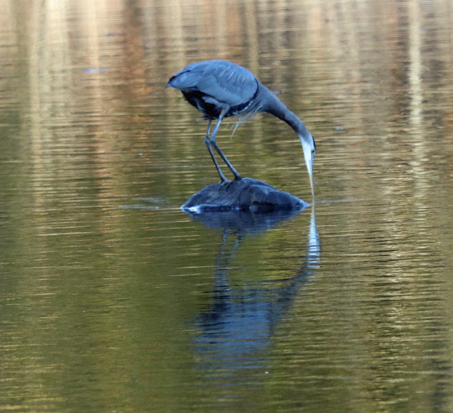 Great blue heron (very blue in late afternoon light) 2