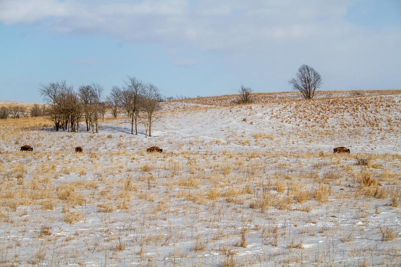 Bison Neal Smith National Wildlife Refuge NWR Prairie City IA  IMG_2185.jpg