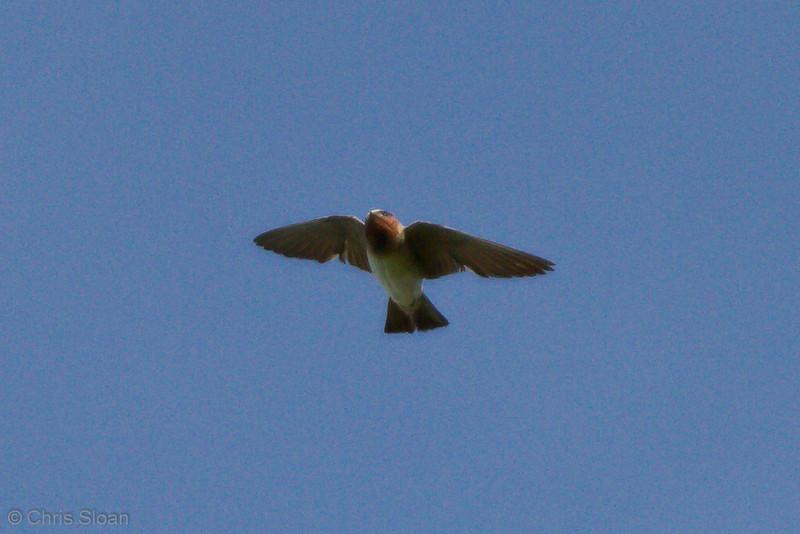 Cliff Swallow at Duck River Unit, TNNWR, TN (08-18-2012)-12.jpg