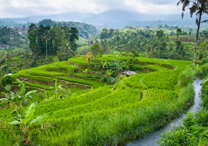Rice Paddies-5.jpg