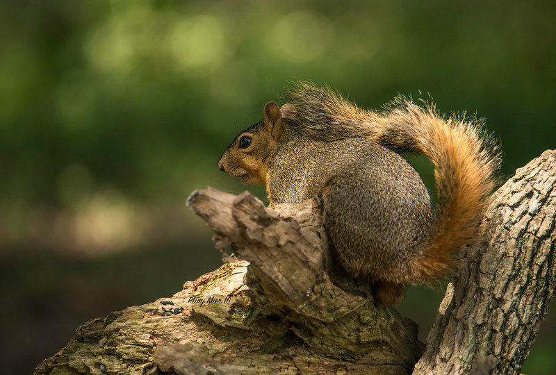 Squirrel_DWL8343.jpg