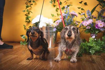 Canadian Dachshund Rescue Ontario at Ren's Pet Depot