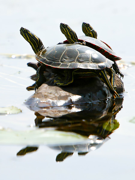 Turtle Reflection_24x32.jpg