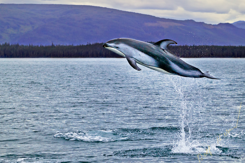 pictures of dolphins, pacific white sided dolphins, Lagenorhynchus obliquidens, inukshuk, vancouver island, british columbia, canada