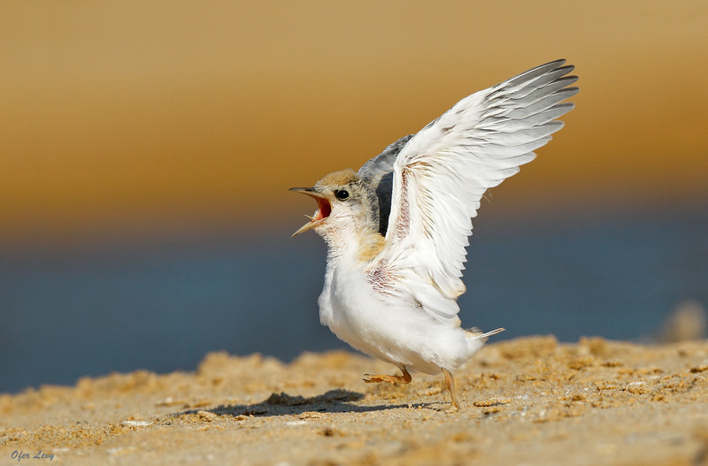 Little Tern baby calling 2 MASTER.jpg