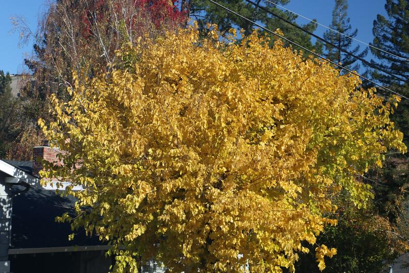 Ginkgo in autumn yellow