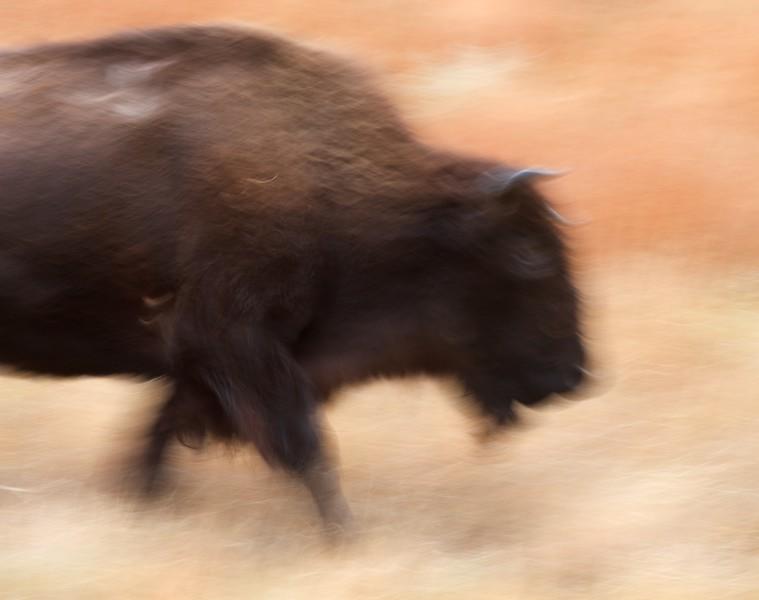 Bison Teddy Roosevelt National Park ND IMG_6628.jpg