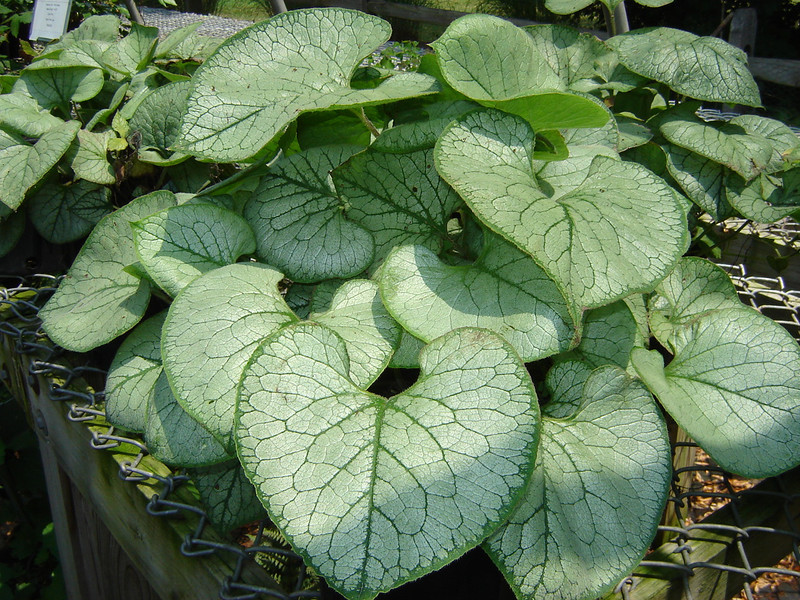 """Brunnera 'Looking Glass'  Exposure: Shade; Bloom Color: Blue; Bloom Time: Spring; Mature Height: 12-18"""""""