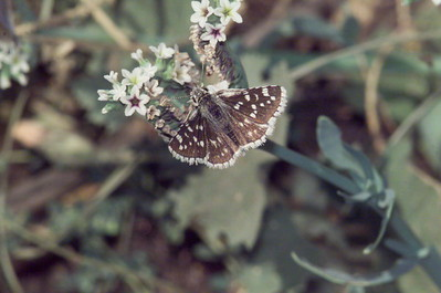 Small Checkered Skipper