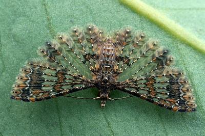 Alucitidae - Many-plume Moths