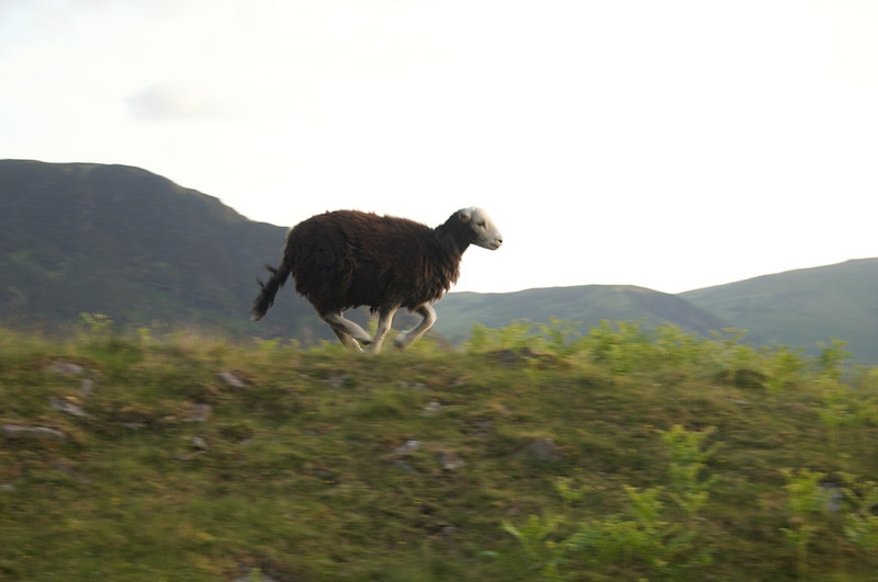 The sheep were training for the 2012 olympics
