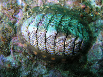 Chitons (Polyplacophora)
