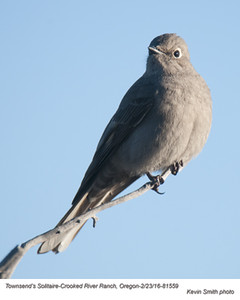 Townsend's Solitaire A81559.jpg