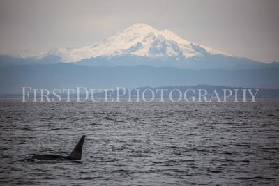 Whale Watching San Juan Islands Washington State