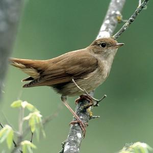 Nightingale costume research