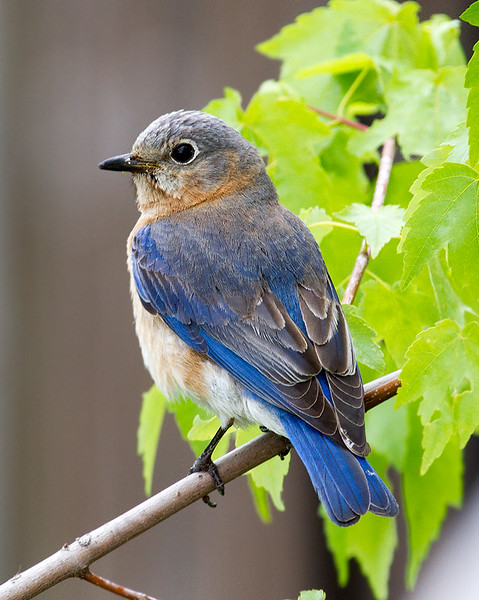 bluebird_8707211205_o.jpg
